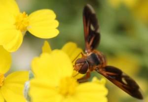 Bee Fly:  Poecilanthrax effrenus