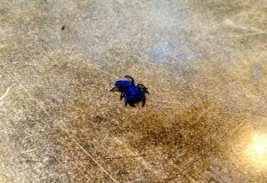 Cropped Blue Jumping Spider:  Hoax or Not???