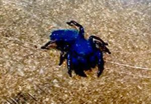Blue Jumping Spider has questionable edges.