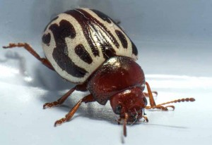Ambrosia Leaf Beetle
