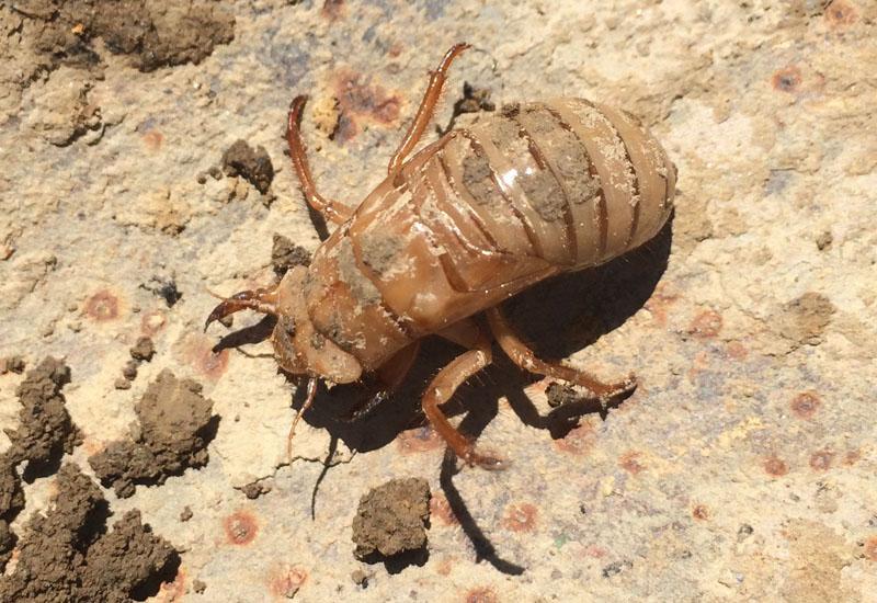 cicada nymph - photo #27