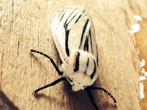 Clio Tiger Moth