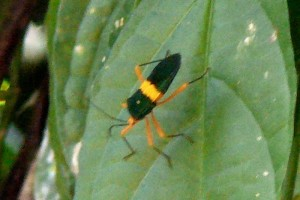 Leaf Footed Bug:  Paraphes flavocolis