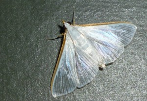 Crambid Snout Moth:  Stemorrhages costata