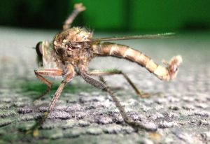Robber Fly:  Efferia species