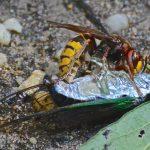 European Hornet kills Cicada