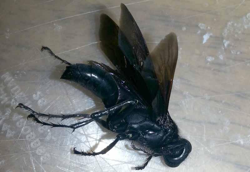 Great Black Wasp Nest