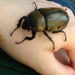 Female Hercules Beetle