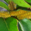 Early Instar Io Moth Caterpillars
