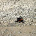 Ladybird Spider:  Eresus ruficapillus
