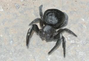 Female Ladybird Spider