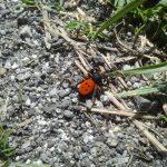 Male Ladybird Spider