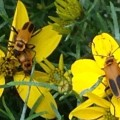 Goldenrod Soldier Beetles Mating