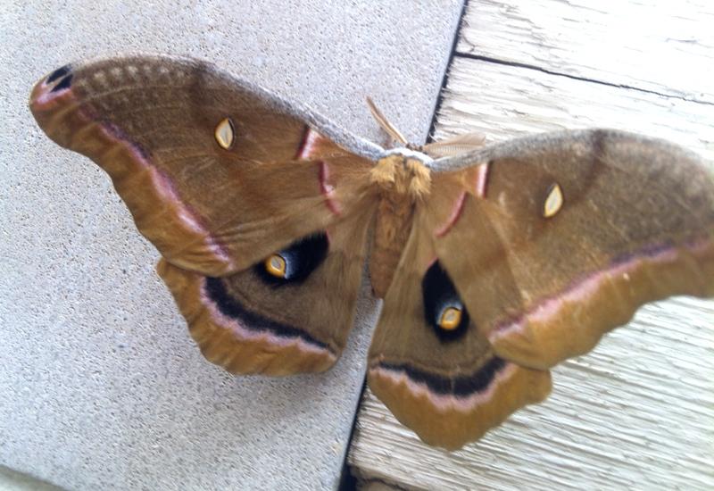 Polyphemus Moth - What's That Bug?
