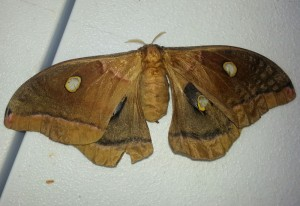 Female Polyphemus Moth