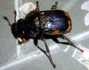 Pustulated Carrion Beetle
