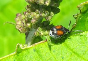 Leaf Beetle:  Red Megacerus