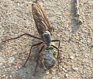 Robber Fly eats Cicada