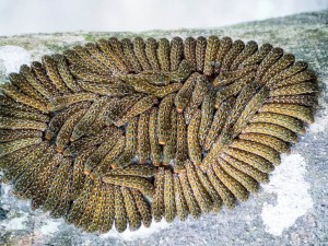 Aggregation of Ruby Spotted Swallowtail Caterpillars