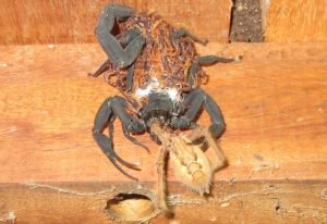 Scorpion with Brood devours Spider