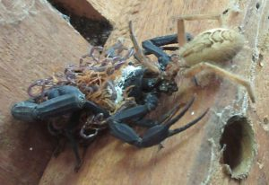 Scorpion with Brood devours Wolf Spider