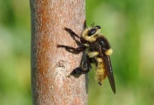 Southern Bee Killer