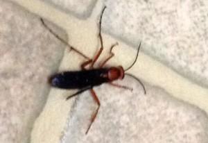 Spider Wasp:  Tachypompilus ferrugineus