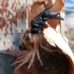 Blue Black Spider Wasp preys upon Wolf Spider (from our archives)