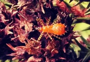 Immature Sycamore Assassin Bug