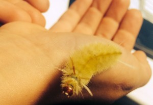Sycamore Tussock Moth Caterpillar