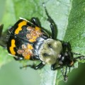Tomentose Burying Beetle with Phoretic Mites