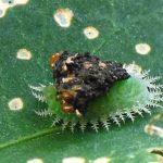 Clavate Tortoise Beetle Larva