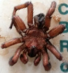 Wafer-Lid Trapdoor Spider