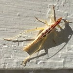 Two Spotted Tree Cricket