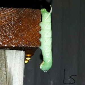 Waved Sphinx Caterpillar