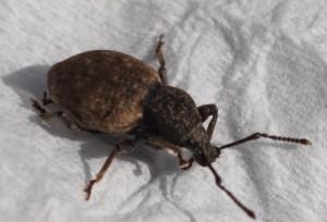Weevil:  Otiorhynchus raucus