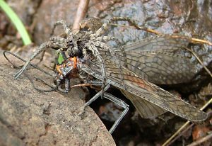 Wolf Spider eats Giant Salmonfly