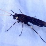 Wood Wasp:  Urocerus albicornis