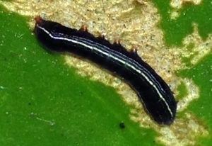 Yellow Striped Armyworm