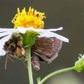 Ambush Bug eats Skipper