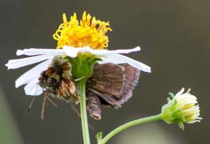 Ambush Bug eats Skipper