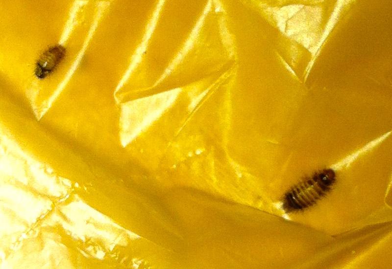 Carpet: Carpet Larvae