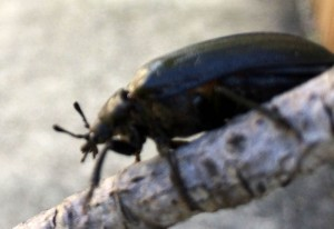 Female Cedar Beetle