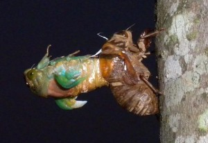 Metamorphosis of an Annual Cicada