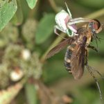 Crab Spider catches Fly