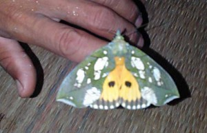 Owlet Moth:  Eudocima hypermnestra