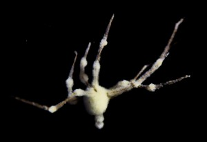 Fungus Riddled Spider