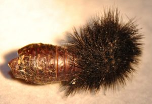 Empty Cocoon of a Giant Leopard Moth