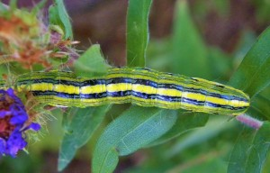 Goldenrod Hooded Owlet Moth Caterpillar