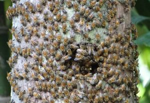 Honey Bee Swarm